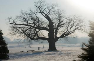 Le chêne pédoncule de Chessy - Arbre remarquable CAUE77- Dans la liste des 132 arbres remarquable de la Région IDF- Novembre 2019