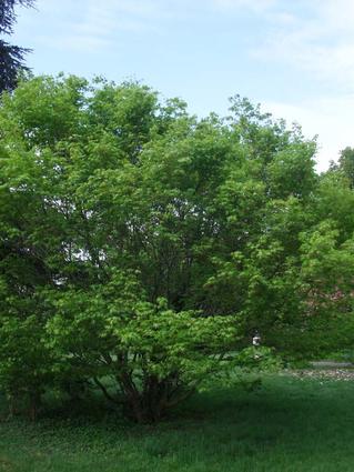 Acer palmatum - Houppier (2)