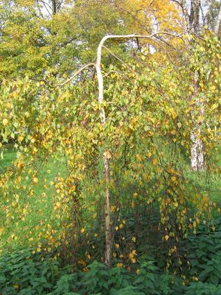 Betula pendula 'Youngii' - BOULEAU PLEUREUR - Jeune tige
