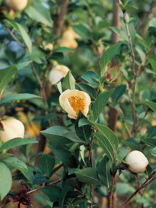 STEWARTIA A GRANDES FLEURS - FAUX CAMELIA - CAMELIA D'ETE - Grandes fleurs solitaires (5 à 6 cm)