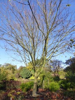 Acer davidii -ERABLE DU PERE DAVID - Jeune arbre