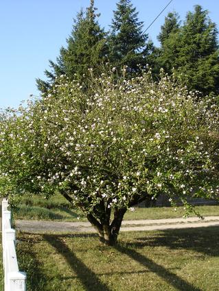 Hibiscus syriacus- HIBISCUS - Cépée