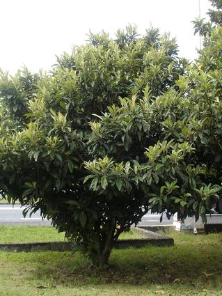 Eriobotrya japonica -NEFLIER DU JAPON - BIBACIER - Jeune cépée