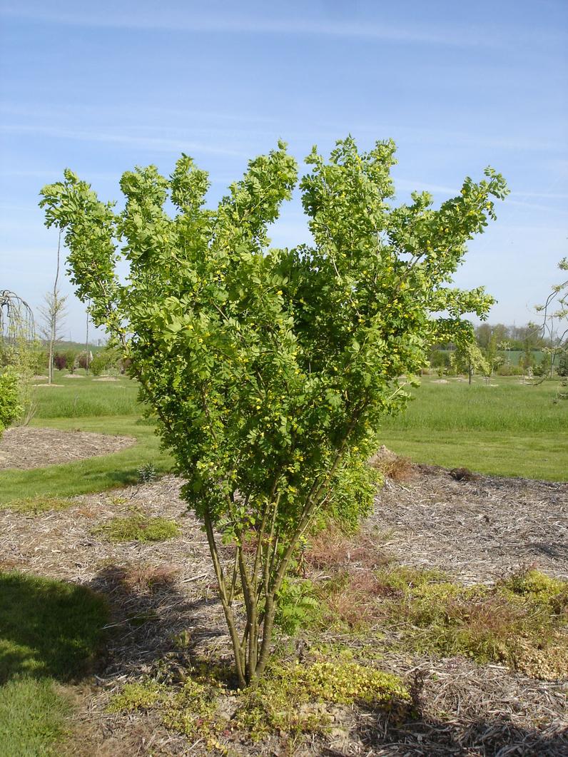 Caragana arborescens - ARBRE AUX POIS -  Jeune cépée