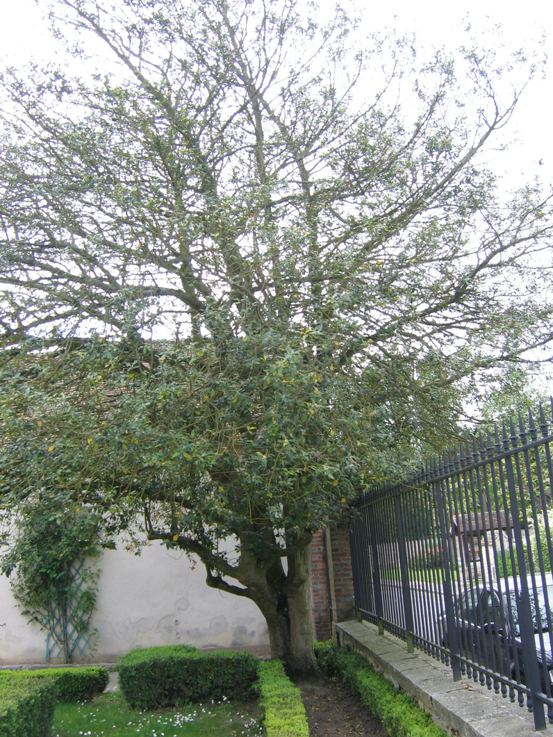 Ilex aquifolium- HOUX - Cépée adulte