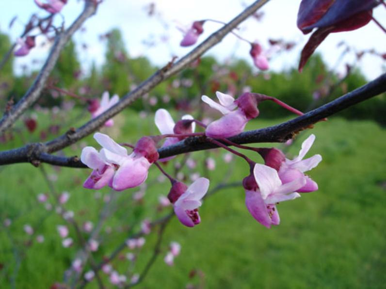 Cercis canadensis 'Forest Pansy' - GAINIER DU CANADA A FEUILLES POURPRES - Floraison sur les rameaux