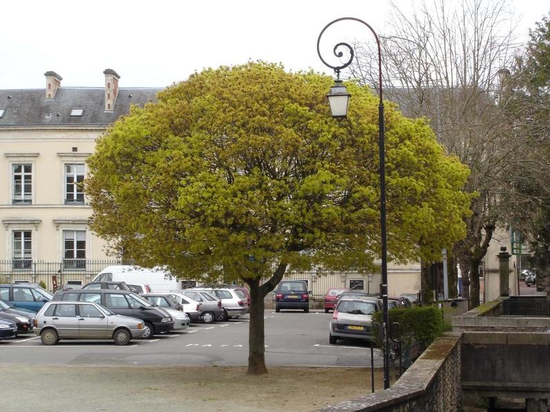 Acer platanoïdes 'Globosum' ERABLE PLANE BOULE - Arbre adulte