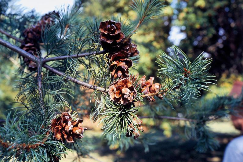 PIN BLANC DU JAPON - Cônes (5 à 8 cm) - Le pin peut atteindre 15 m de haut.