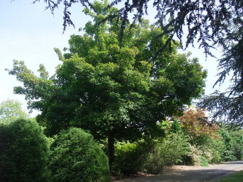 Acer tataricum subsp. ginnala - ERABLE DU FLEUVE AMOUR - Houppier