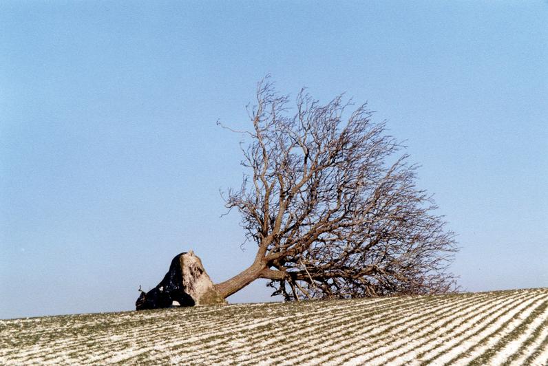 Le noyer de Beauregard à Jutigny, à terre, victime de la tempête Lothar le 26 décembre 1999 -  Arbre Remarquable de Seine-et-Marne - Janvier  2000