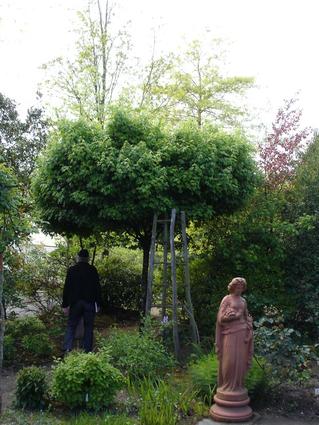 Acer campestre nanum - Houppier