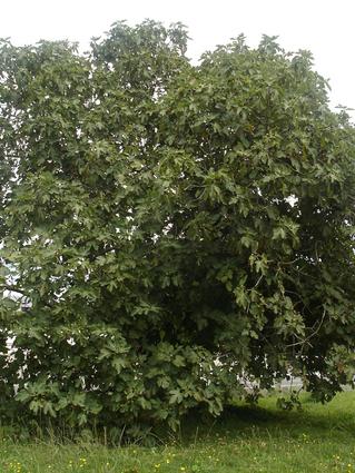 Ficus carica - FIGUIER- Cépée isolée