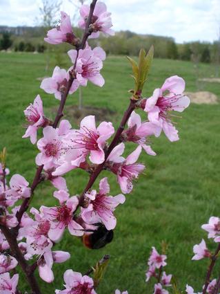 PECHER - Floraison avant l'apparition des feuilles
