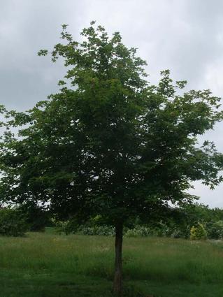 Acer x zoeschense 'Annae' - ERABLE HYBRIDE ANNAE -  Houppier