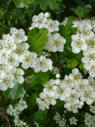 Crataegus monogyna 'Stricta' - AUBEPINE FASTIGIEE - EPINE BLANCHE FASTIGIEE - Bouquets parfumés