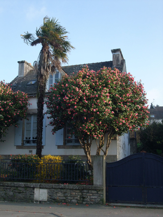 Camellia japonica - CAMELIA DU JAPON - Cépée adulte