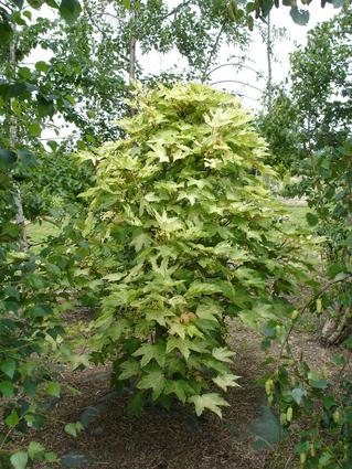 Acer pseudoplatanus 'Brillantissimum' - ERABLE SYCOMORE DORE - Jeune arbre