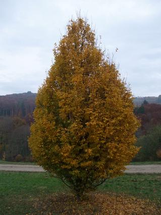 Carpinus betulus 'Frans Fontaine' - CHARME FASTIGIE 'FRANS FONTAINE' - Jeune arbre en automne