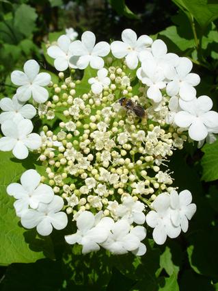 VIORNE NOIR - OBIER - Floraison en corymbe (4 à 10 cm)