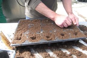 Les  graines du sophora du Japon de Montry plantées dans un substrat - Printemps 2019 - Serres de Meaux