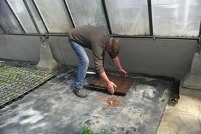 Les semis du sophora duJapon de Montry - A l'abri sous serres - Printemps 2019 - Serres de Meaux