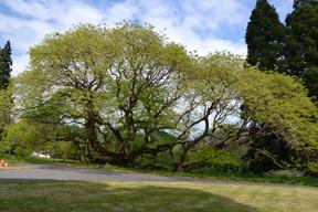 Le Sophora du Japon de Montry au printemps 2018.  Un arbre résilient.