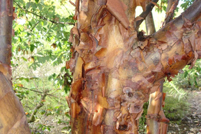Acer griseum - Ecorce