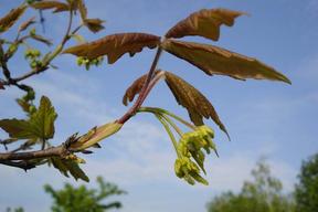 Acer griseum - Fleurs