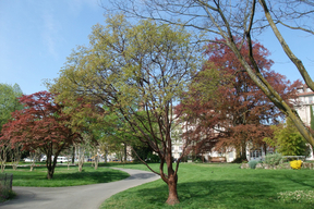 Acer griseum - Houppier (2)