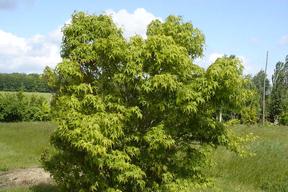 Acer palmatum - Houppier