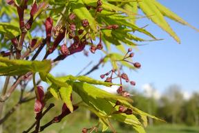 Acer palmatum - Fleurs