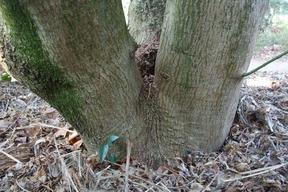 Acer palmatum - Tronc