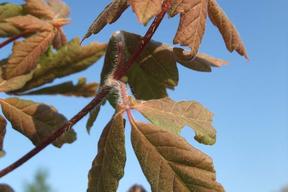 Acer griseum - Feuilles d'automne