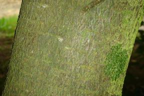 Cotoneaster lacteus - COTONEASTER - Ecorce