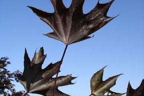 Acer platanoïdes 'Crimson Sentry'ERABLE PLANE FASTIGIE POURPRE  - Feuille rouge sombre été