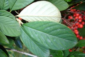 Cotoneaster lacteus - COTONEASTER - Feuilles vertes dessus, grisâtres dessous (3 à 8 cm)