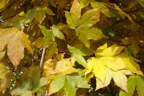 Acer x zoeschense 'Annae' - ERABLE HYBRIDE ANNAE - Feuilles rouges à jaunes en automne