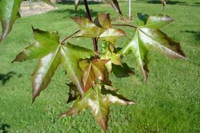 Acer x zoeschense 'Annae' - ERABLE HYBRIDE ANNAE - Feuilles vertes cuivré-rouge en été