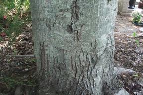 Acer tataricum subsp. ginnala - ERABLE DU FLEUVE AMOUR - Tronc