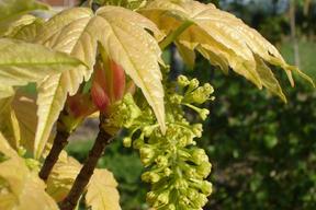 Acer pseudoplatanus 'Brillantissimum' - ERABLE SYCOMORE DORE - Fleurs en grappes pendantes
