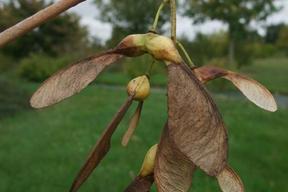 Acer pseudoplatanus 'Brillantissimum' - ERABLE SYCOMORE DORE - Samares nombreuses