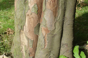 Cydonia oblonga (Cydonia vulgaris) - COGNASSIER - Tronc cannelé