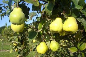 Cydonia oblonga (Cydonia vulgaris) - COGNASSIER - Coing