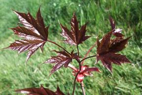Acer platanoïdes 'Crimson Sentry'ERABLE PLANE FASTIGIE POURPRE  - Arbre  feuille rouge éclatant
