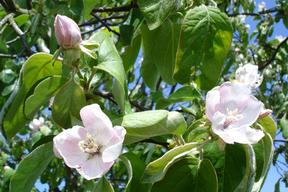Cydonia oblonga (Cydonia vulgaris) - COGNASSIER - Fleurs gracieuses (4 à 5 cm)