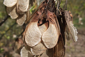 Acer tataricum subsp. ginnala - ERABLE DU FLEUVE AMOUR - Samares abondantes