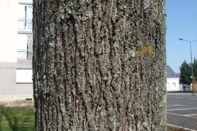 Acer platanoïdes 'Globosum' ERABLE PLANE BOULE - Tronc - Ecorce finement gerçurée
