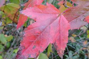 Acer tataricum subsp. ginnala - ERABLE DU FLEUVE AMOUR - Feuille  rouge en automne