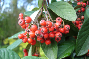 Cotoneaster lacteus - COTONEASTER - Fruits en hiver