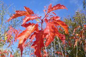 Acer tataricum subsp. ginnala - ERABLE DU FLEUVE AMOUR - Feuilles rouges en automne - ensemble